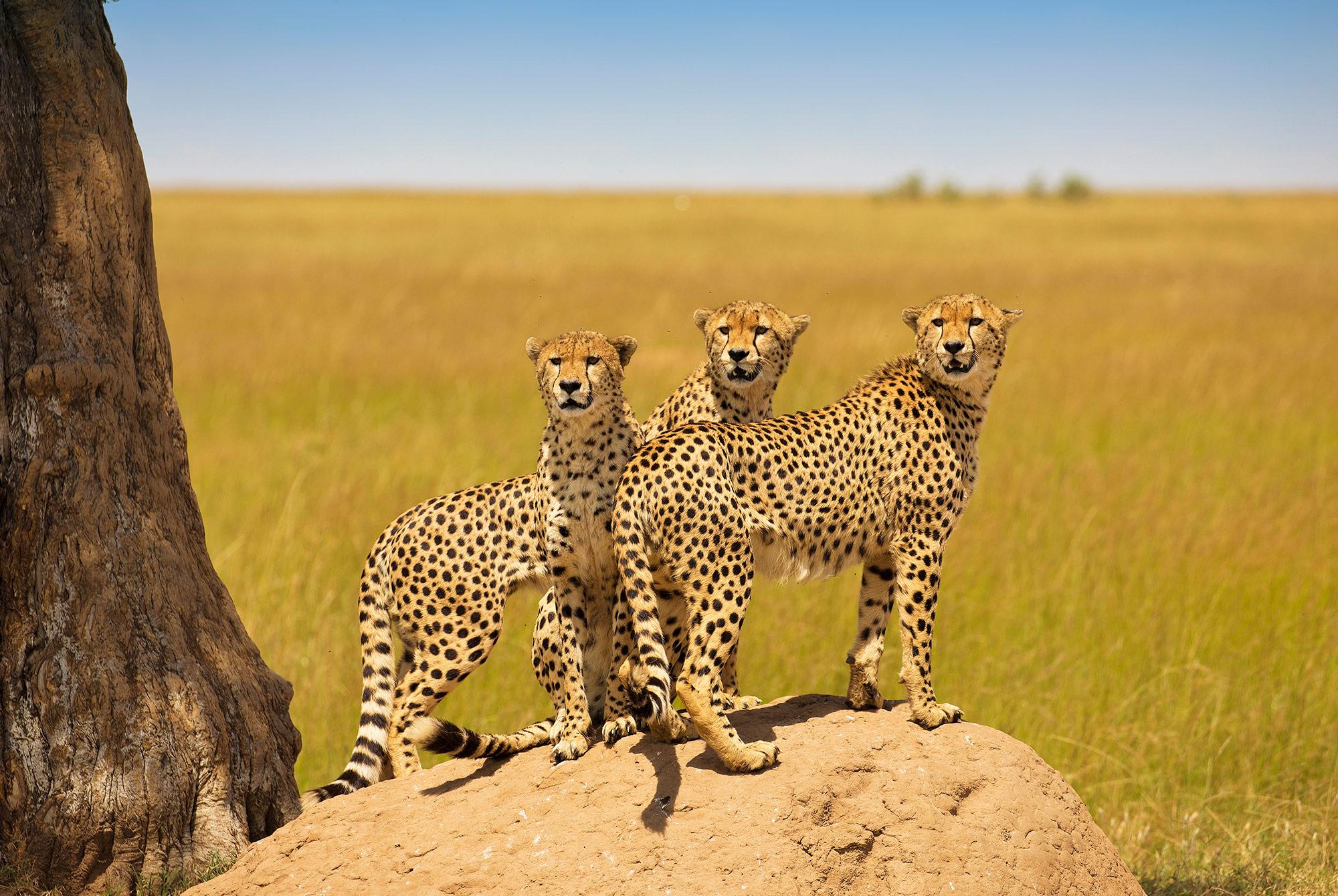 Geparden in der Masai Mara