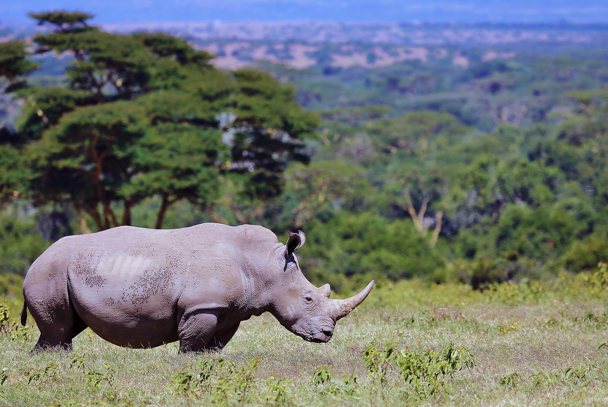 Ein Nashorn unterwegs im Solio Reservat