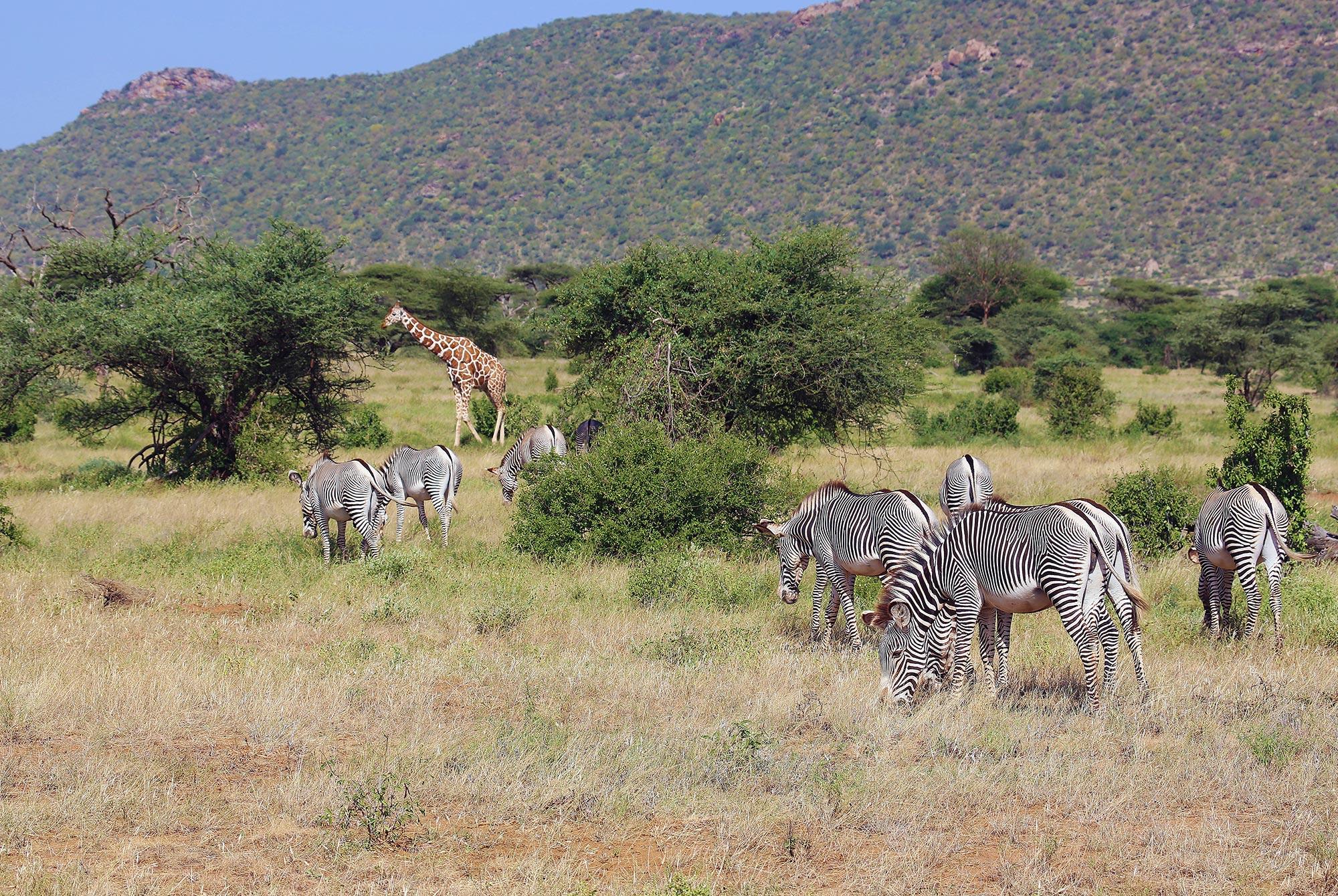 Zebras und Giraffe im Samburu Reservat
