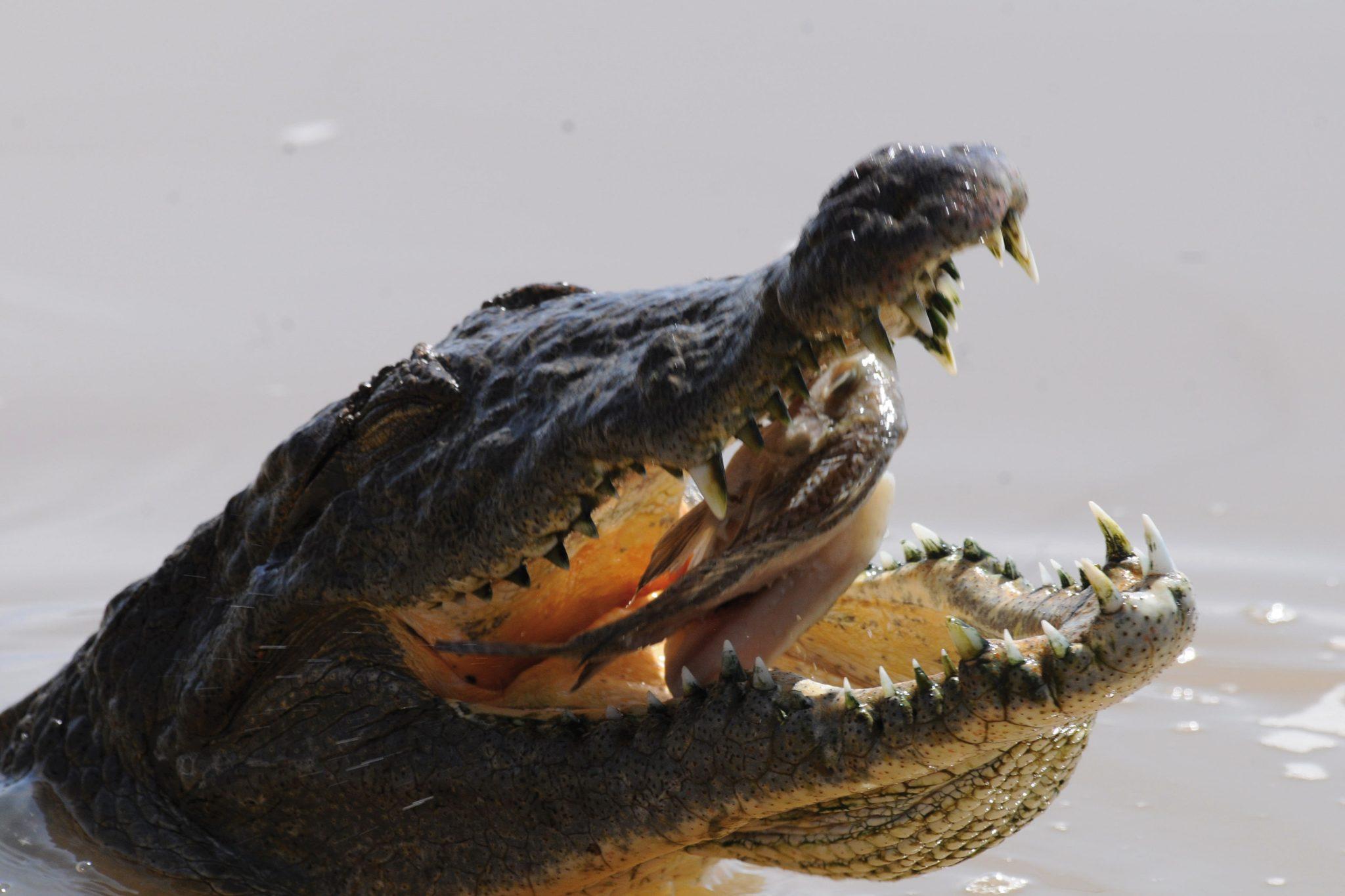 Ein Krokodil verspeist seine Beute
