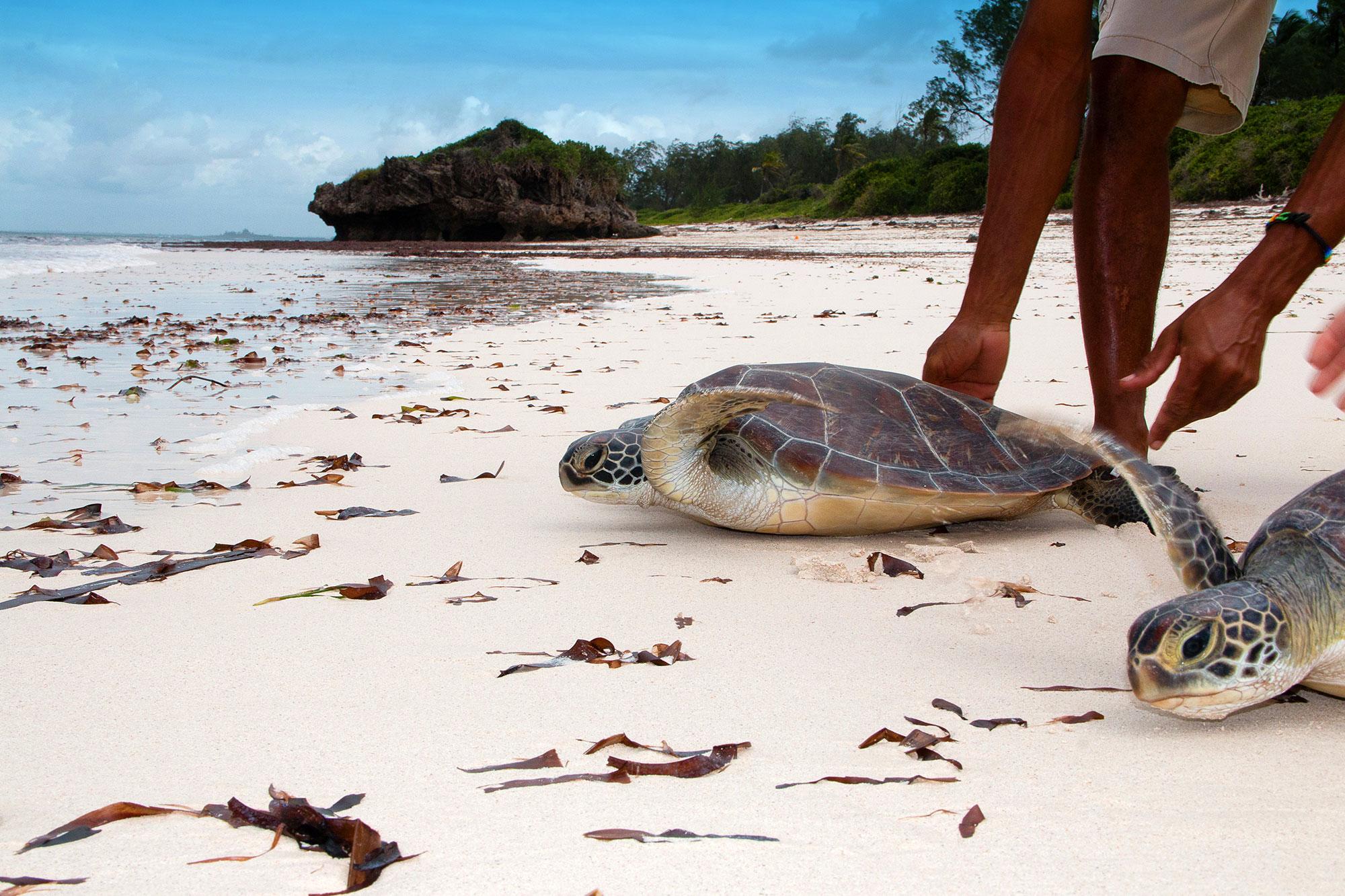 Schildkröten am Strand auf dem Weg ins Meer