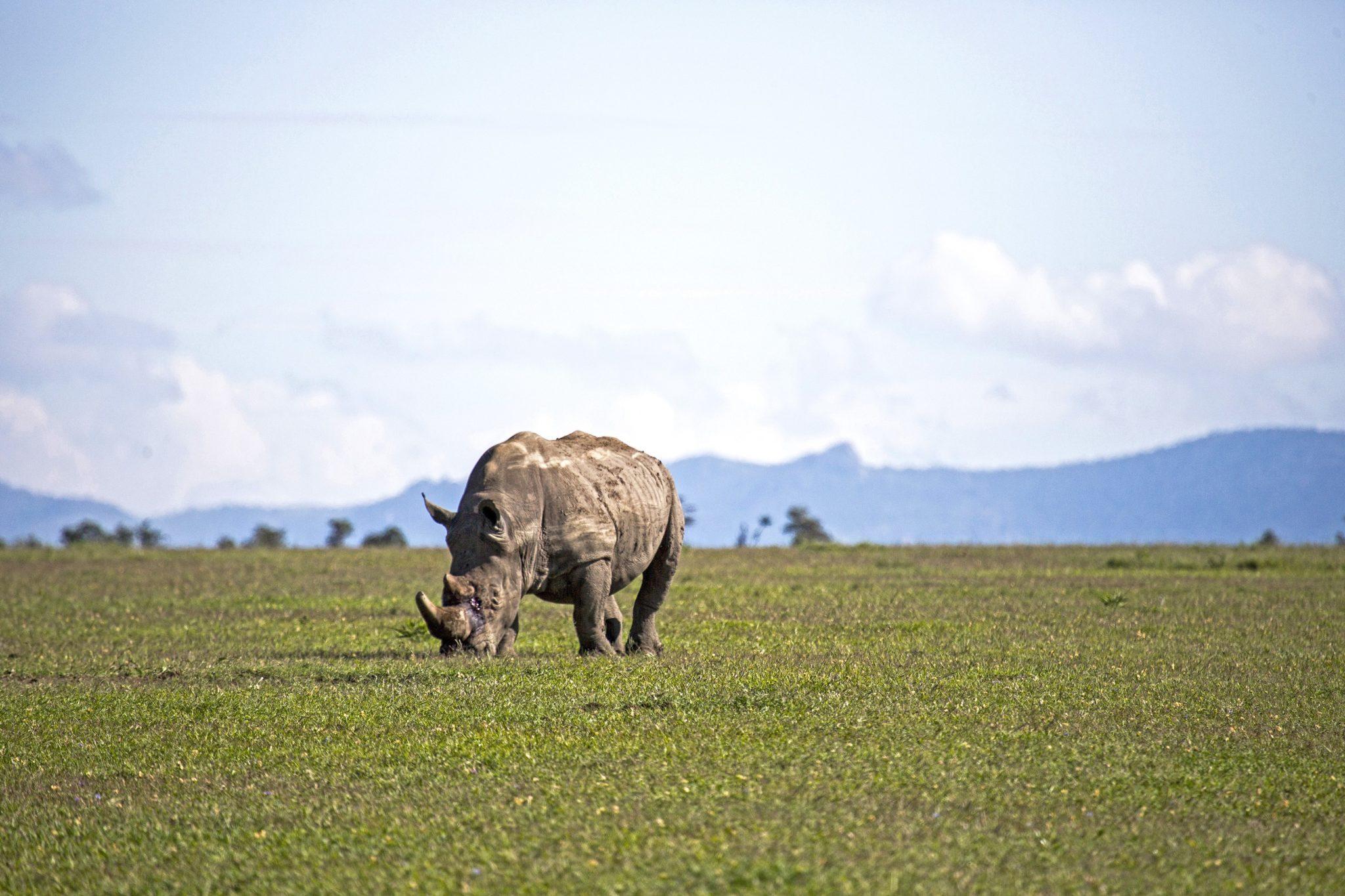 Breitmaulnashorn beim Gras fressen im Ol-Pejeta-Conservancy